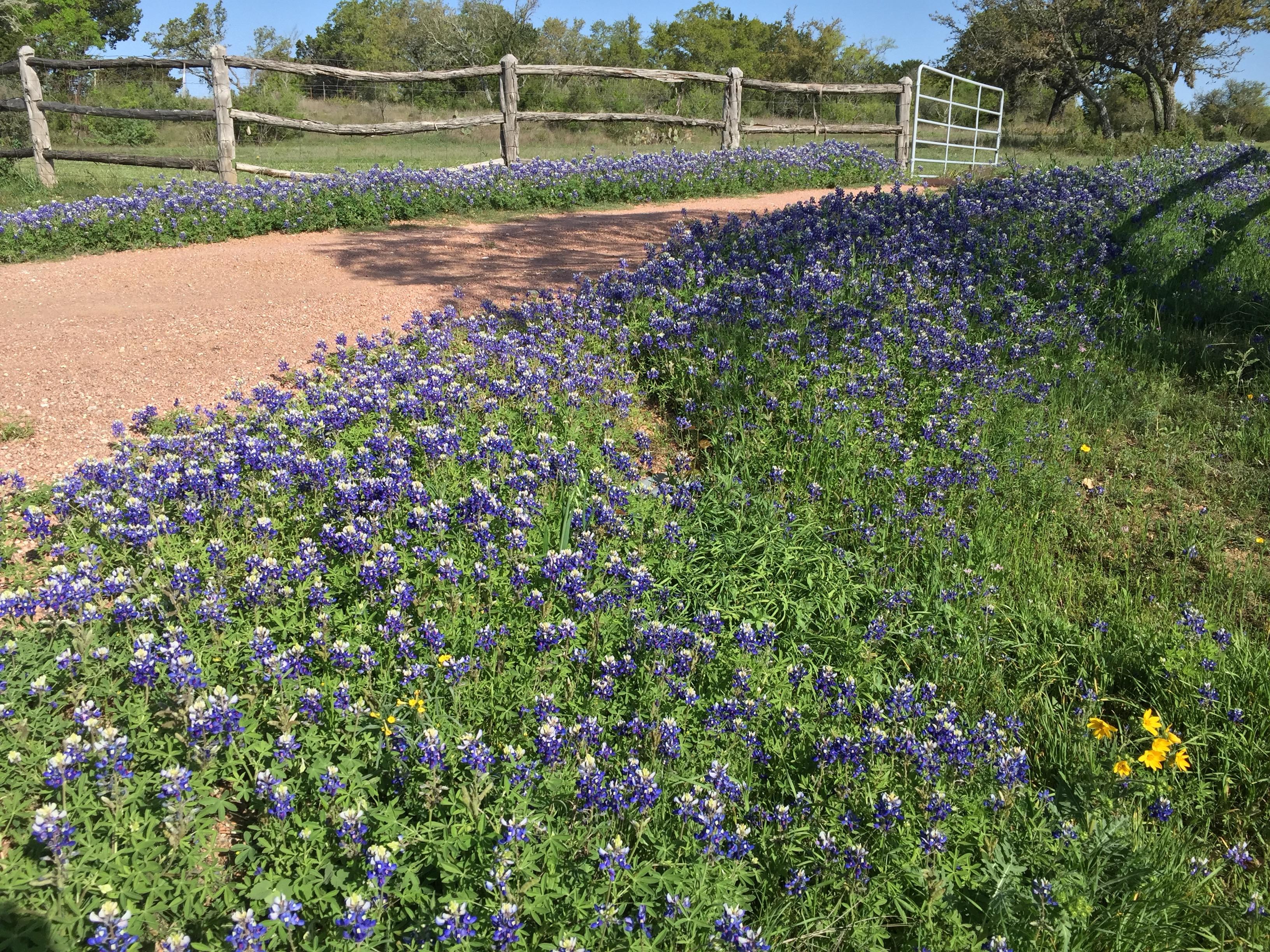 Fredericksburg Bluebonnets State Flower of Texas
